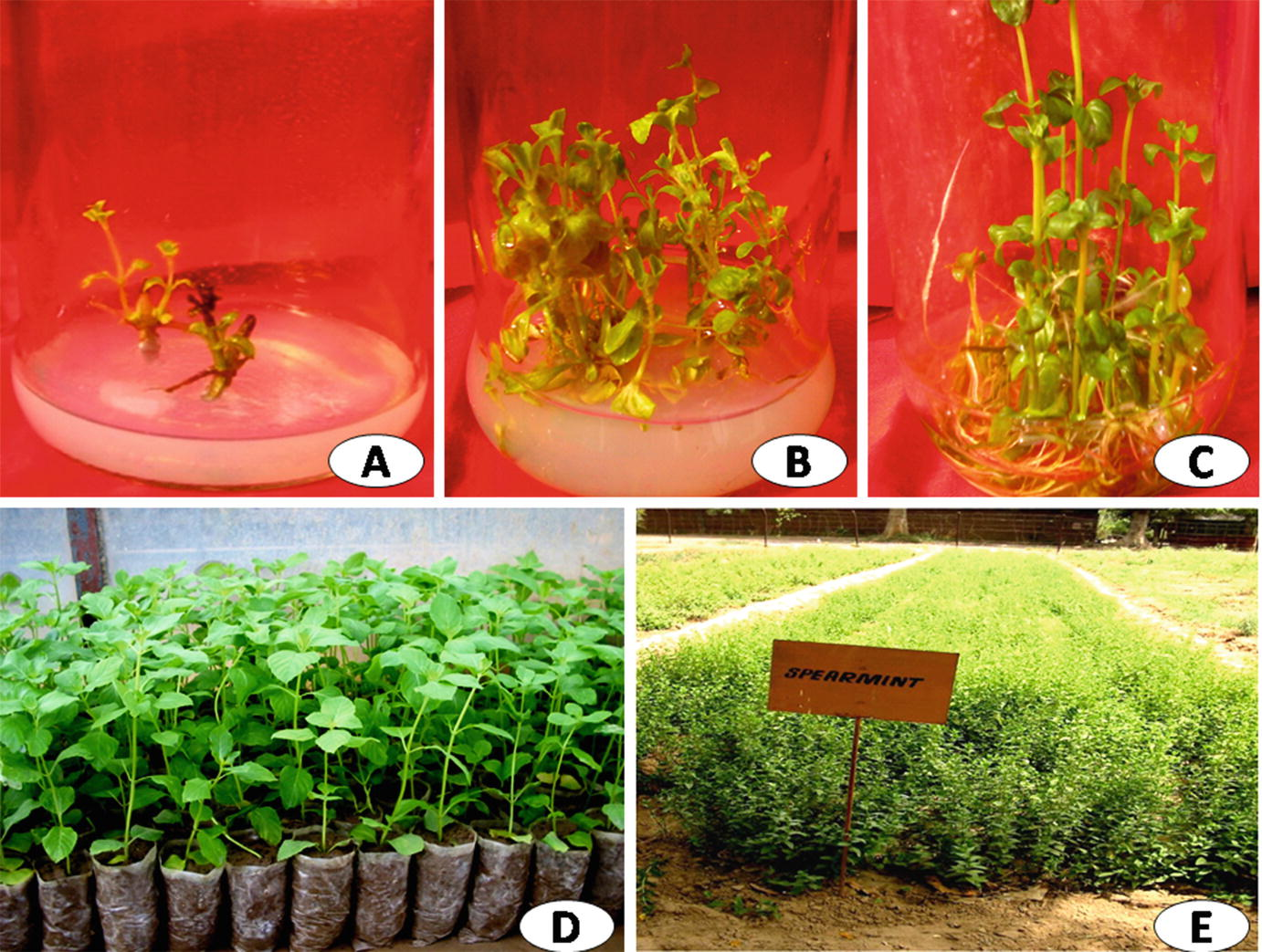 Cell and Tissue Culture Approaches in Relation to Crop Improvement