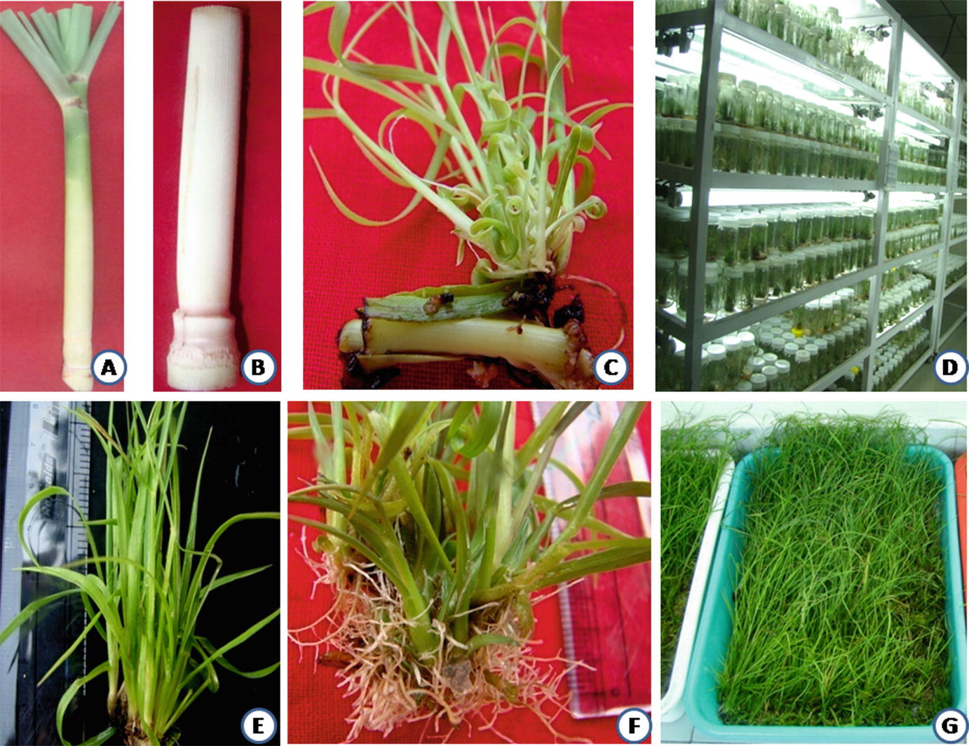 Micropropagation and Somatic Embryogenesis in Sugarcane