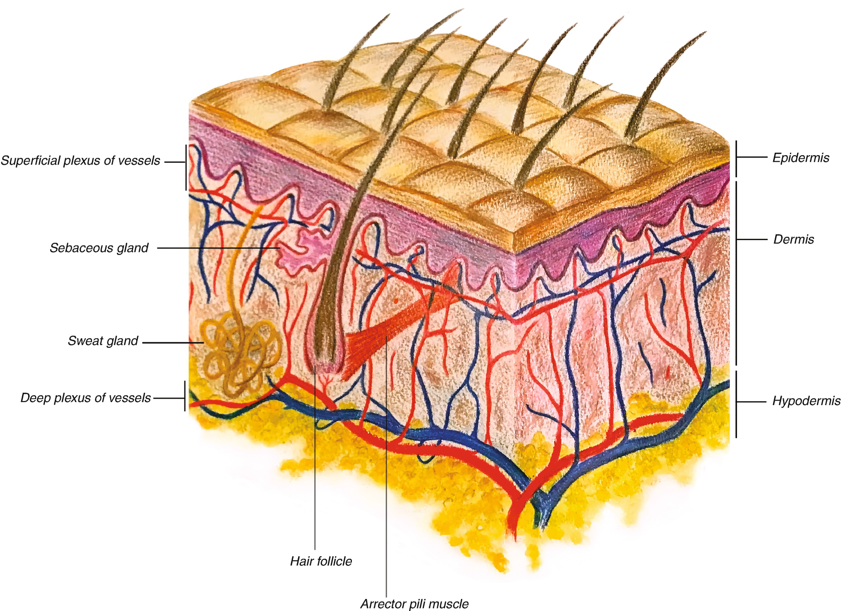 Beautiful Anatomy And Physiology Skin Model Inspiration - Physiology ...