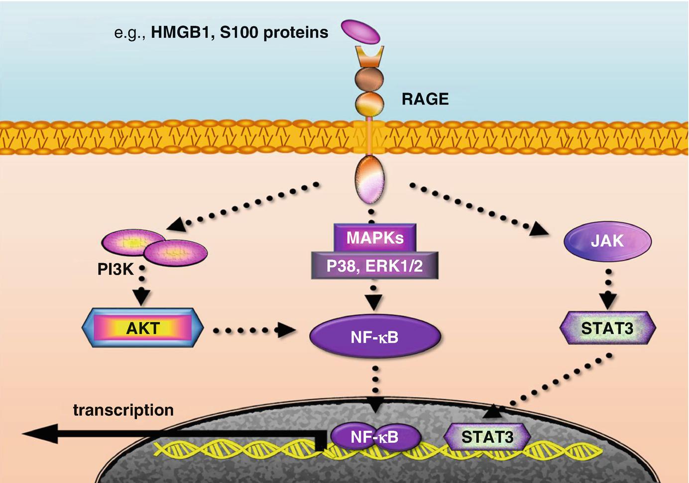 Cellular Inflammatory Responses | SpringerLink