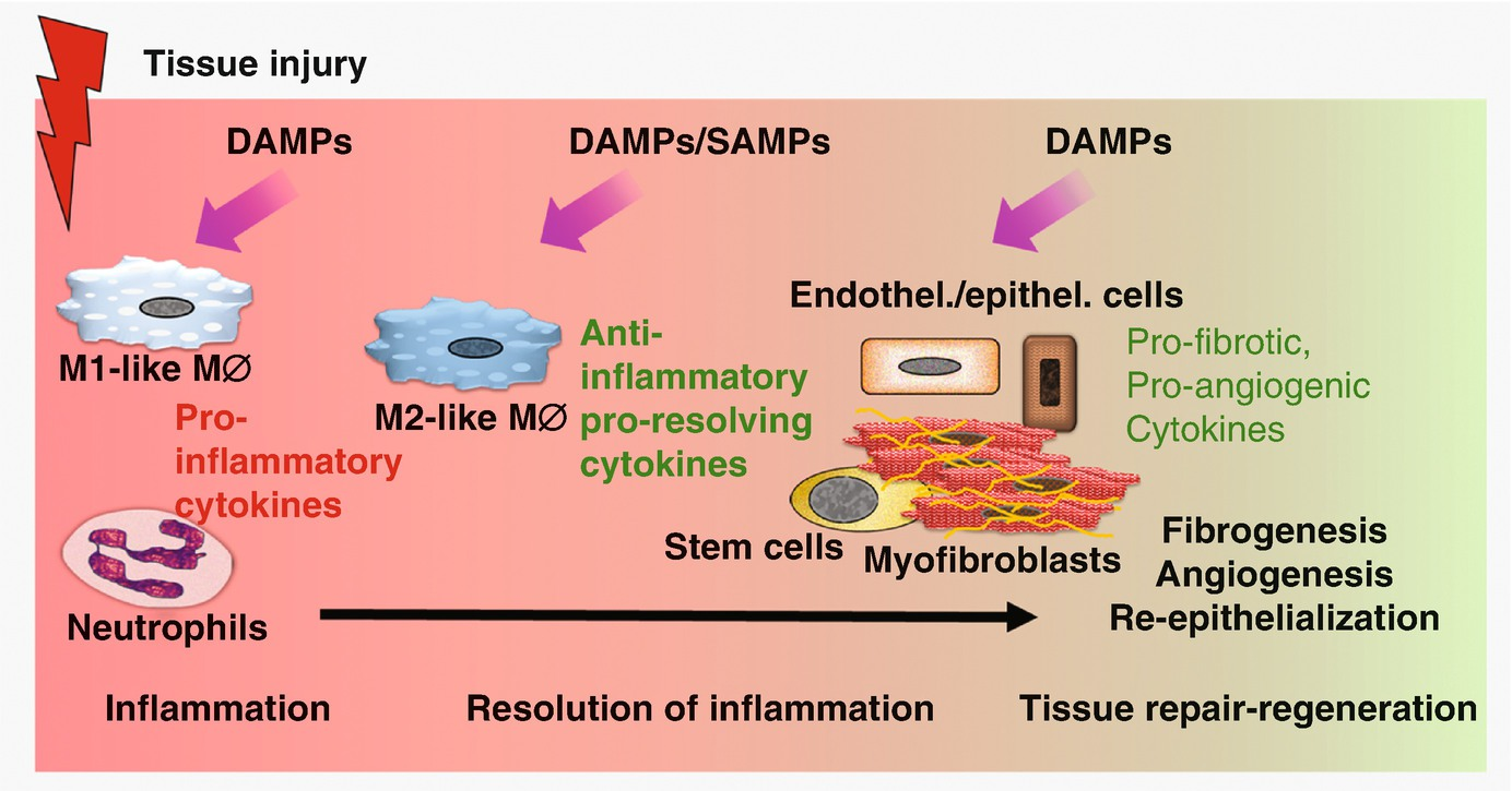 Role of DAMPs in Tissue Regeneration and Repair | SpringerLink