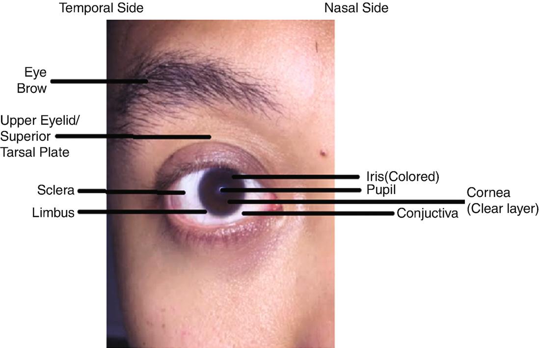 Anatomy of the Eye   SpringerLink