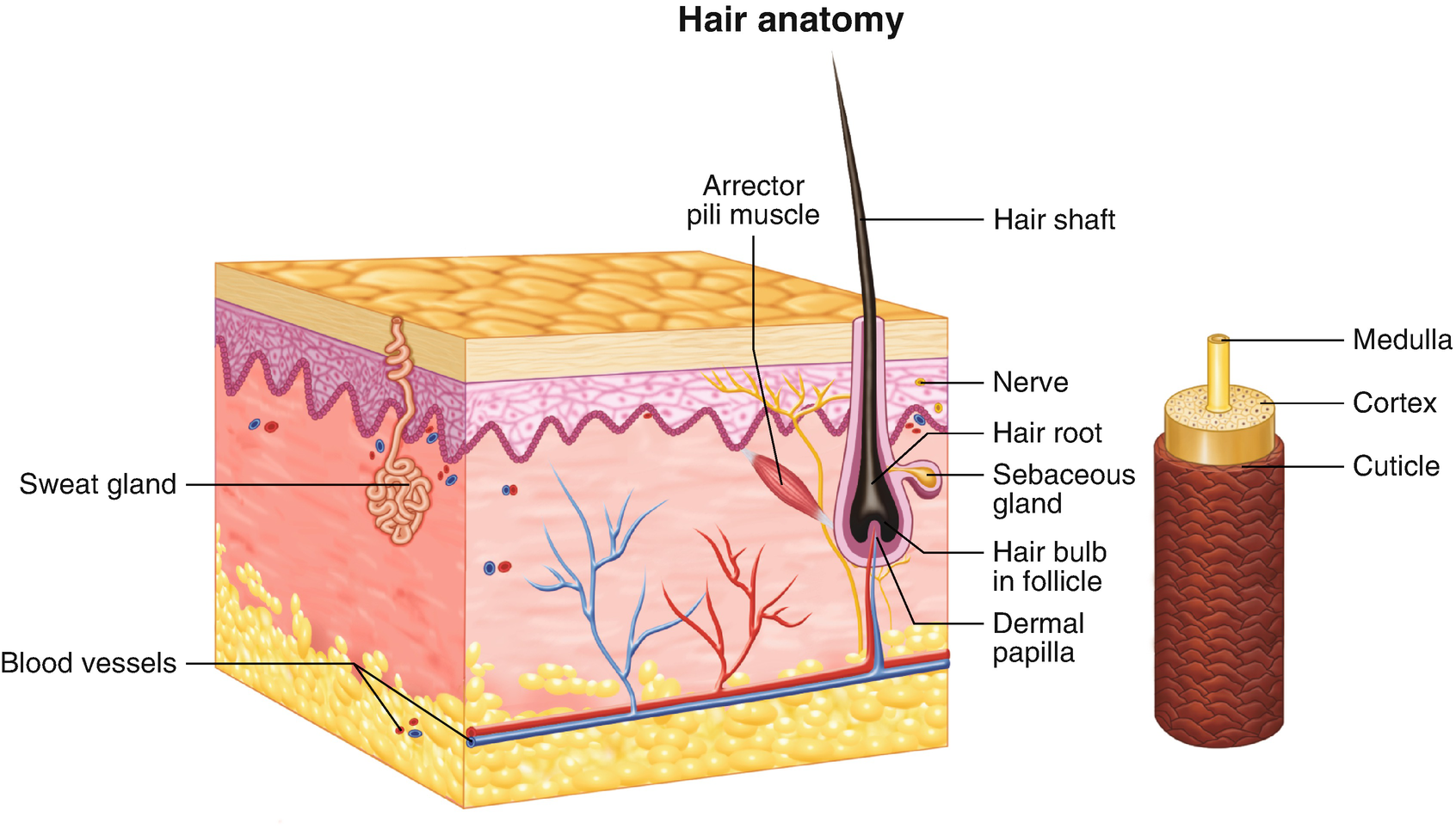 Normal Ultrasound Anatomy of the Skin, Nail, and Hair | SpringerLink