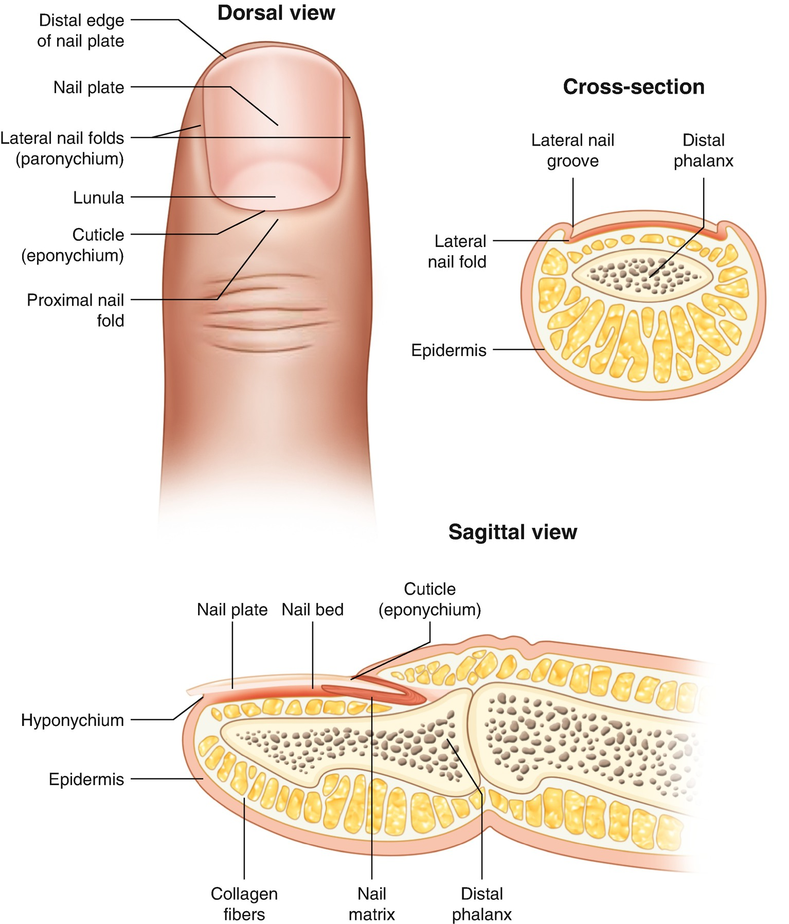 Normal Ultrasound Anatomy Of The Skin Nail And Hair Springerlink