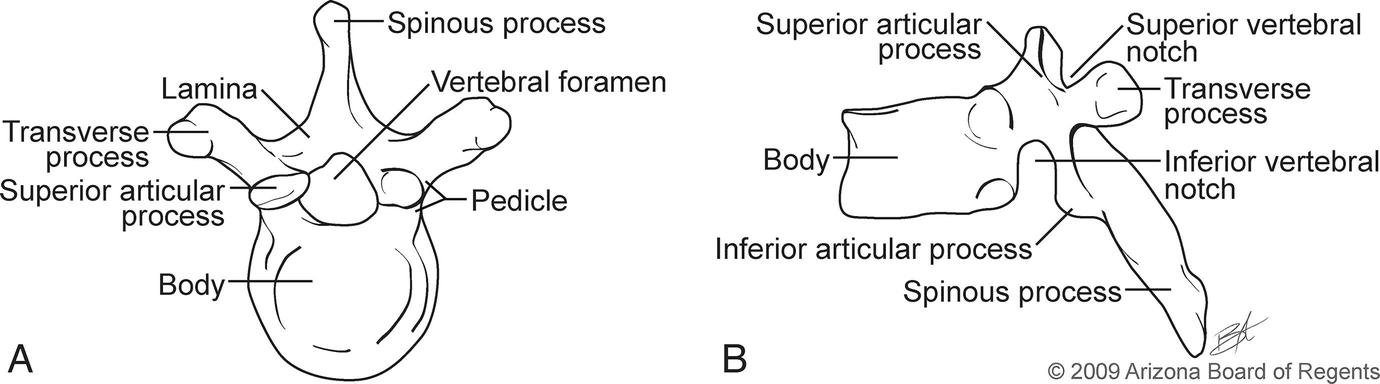 Developmental and Functional Anatomy of the Spine | SpringerLink