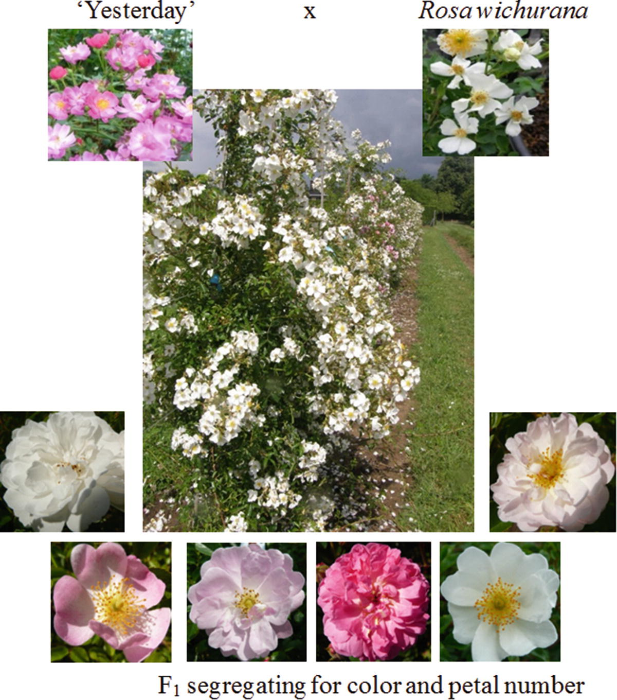 Trimming of climbing roses in autumn (rules of implementation)