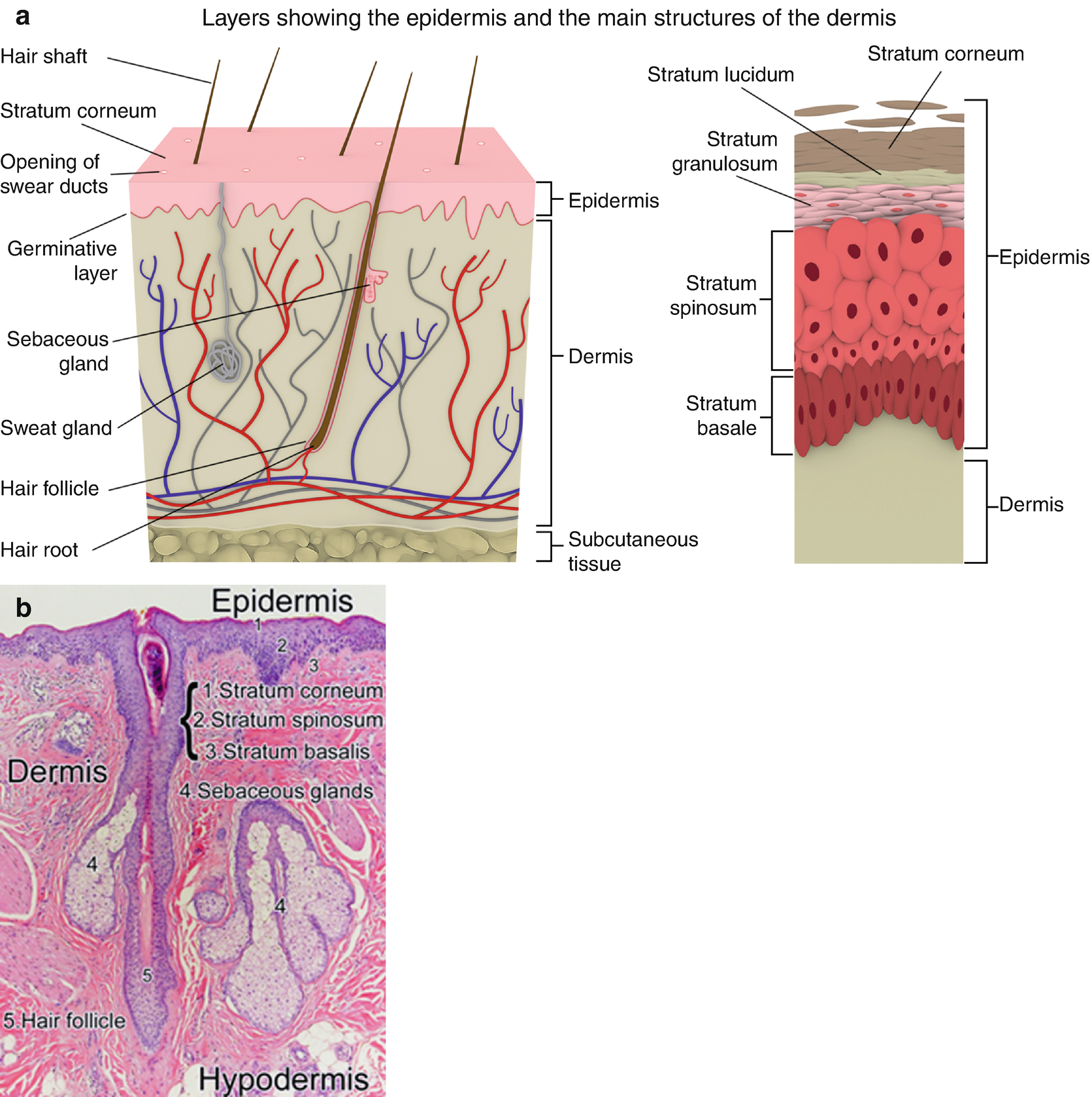 Introduction: Skin Anatomy, Imaging Approaches, and Dermatology