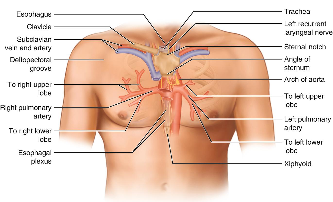 Chest Wall Anatomy Springerlink