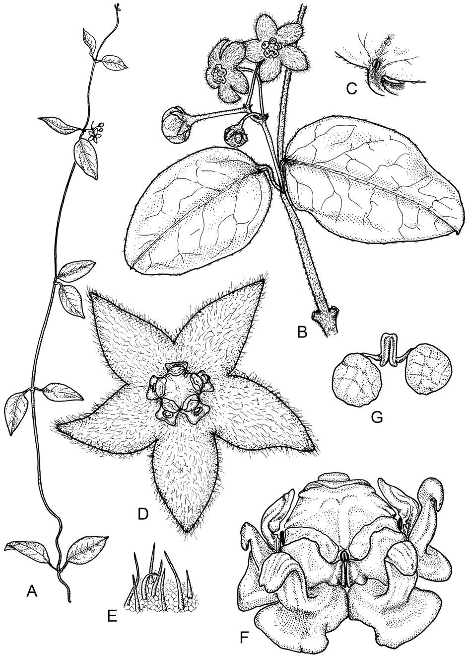Apocynaceae | SpringerLink
