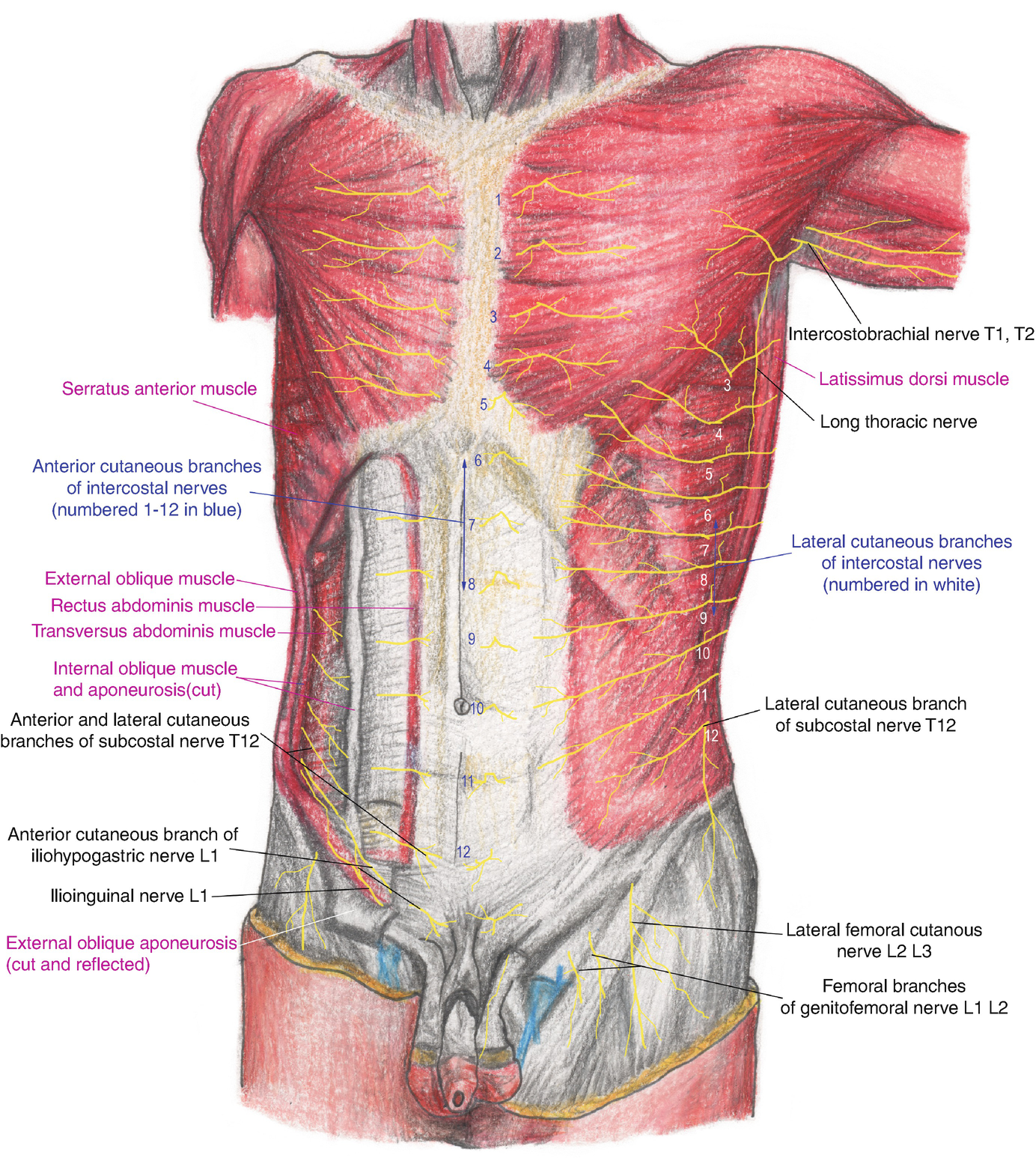 Anatomy Of The Innervation Of The Abdomen Springerlink