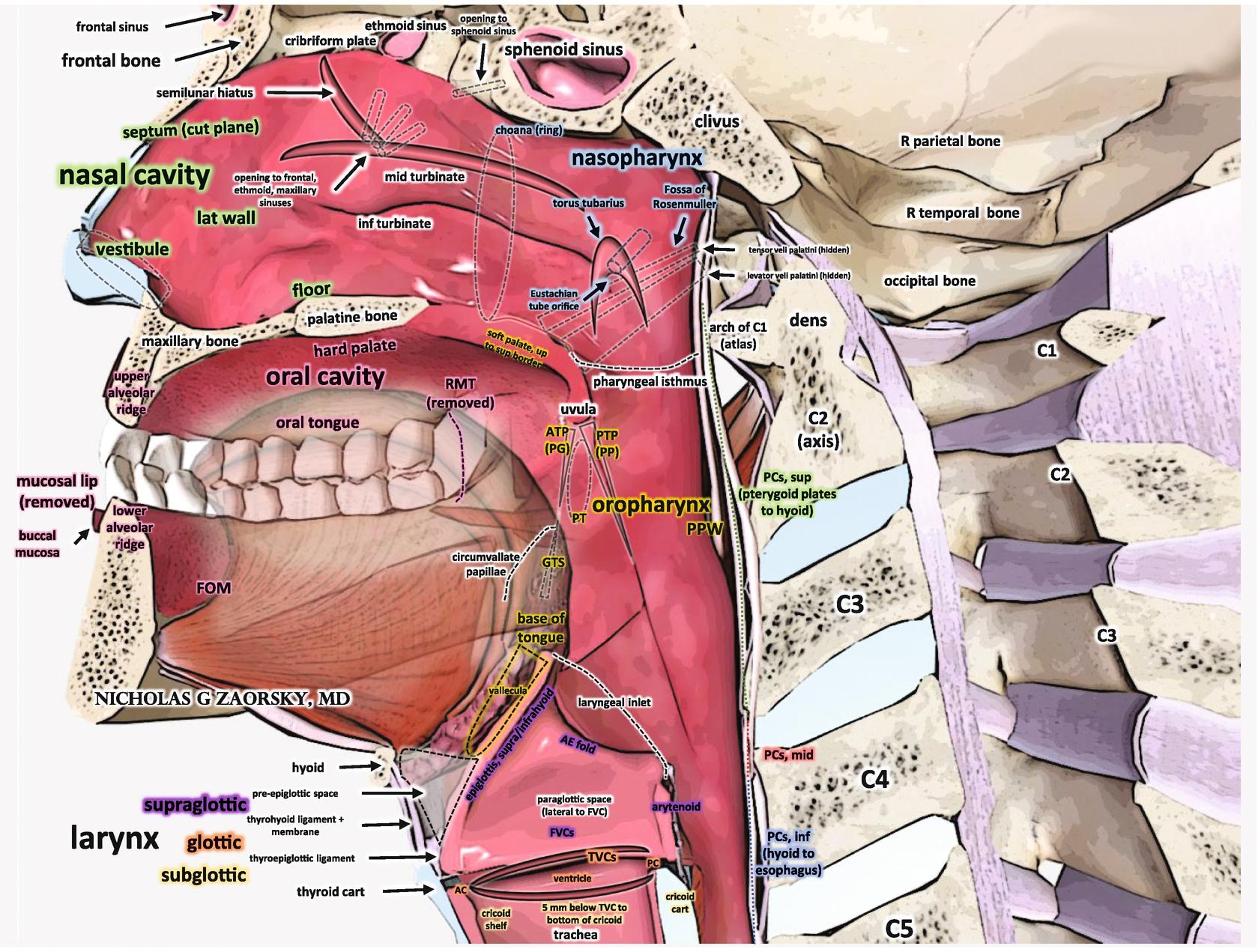 Head and Neck Cancers | SpringerLink