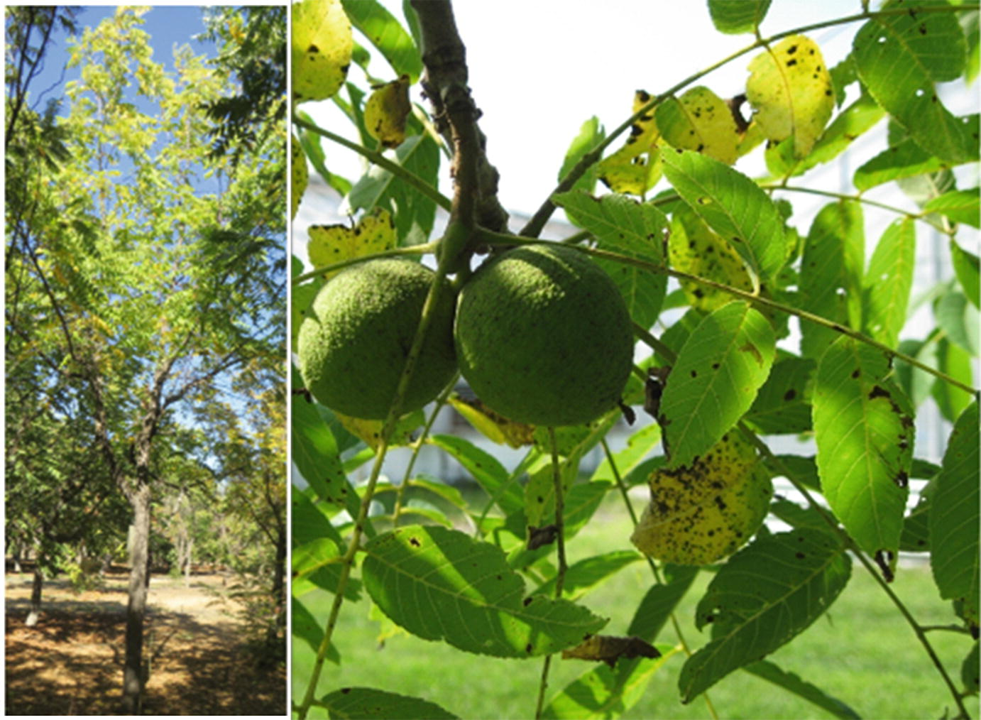 Quel Fruit Planter temperate nut crops: chestnut, hazelnut, pecan, pistachio