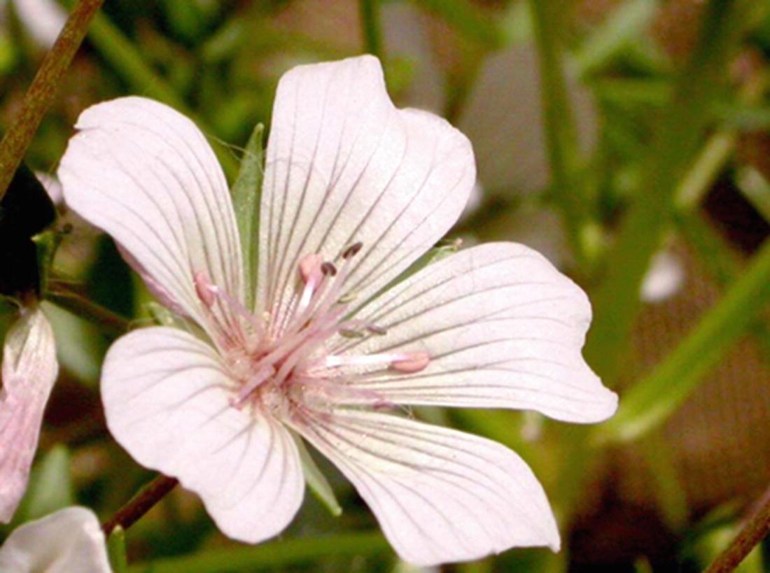 BACCHARIS FLOWER 100 SEEDS SEA FOAM