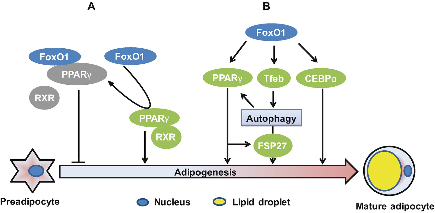Forkhead Box O Foxo Transcription Factors In Autophagy Metabolic Taylor Fuse Open Image New Window