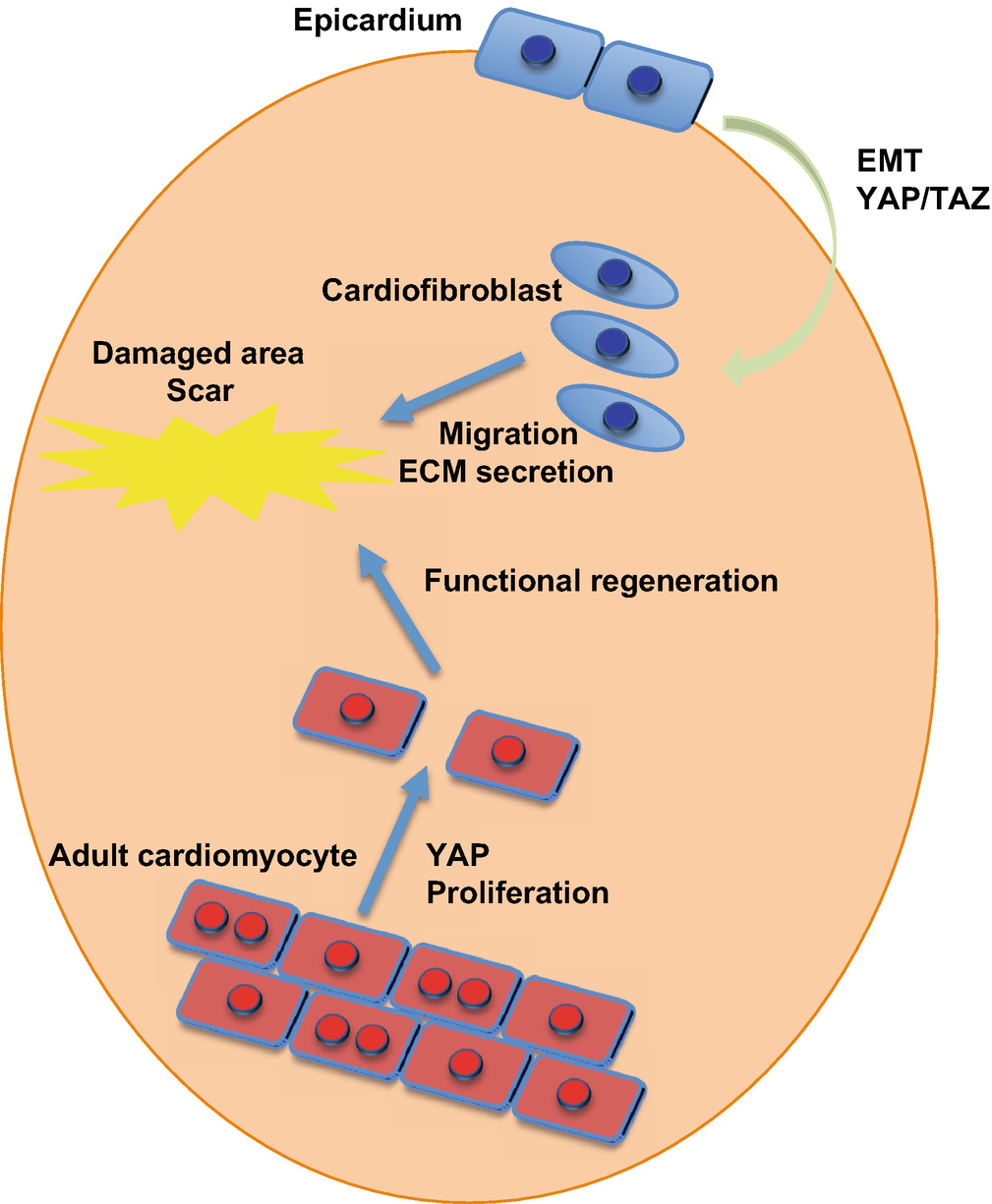 Autophagic Regulation of Cardiomyocyte Survival and Heart