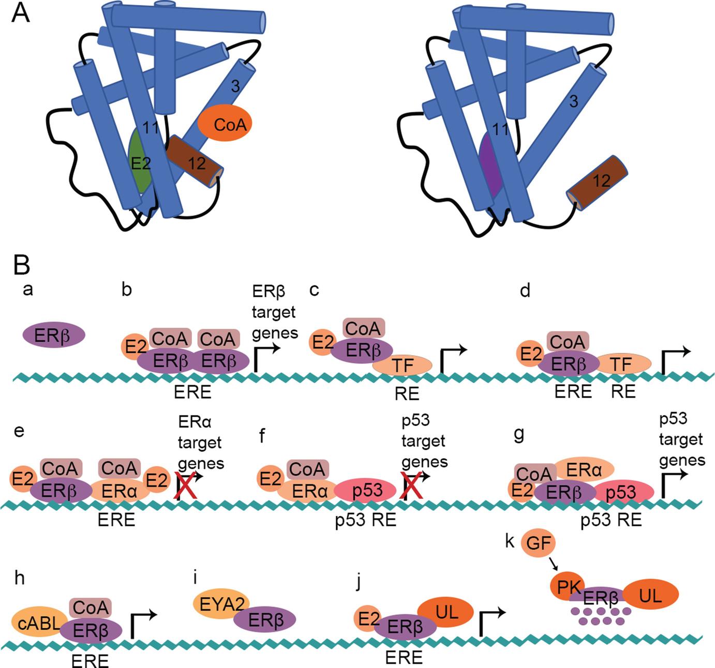Estrogen Receptor β And Breast Cancer Springerlink