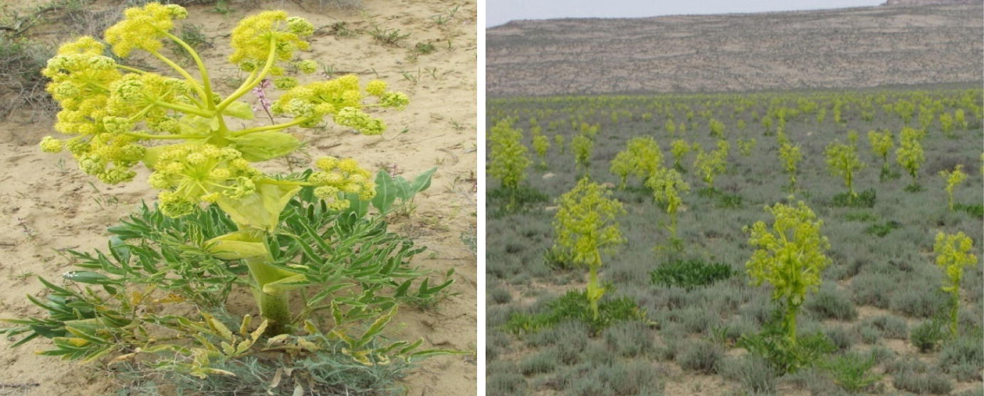 Medicinally Important Plants of Kazakhstan | SpringerLink