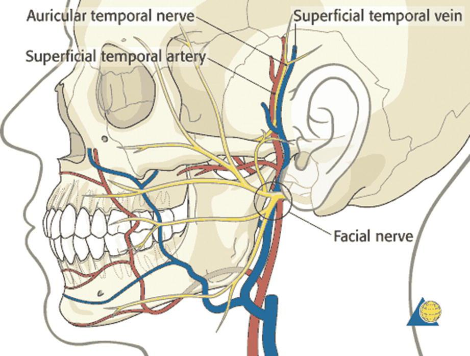 Detailed Anatomy Of The Temporomandibular Joint Springerlink