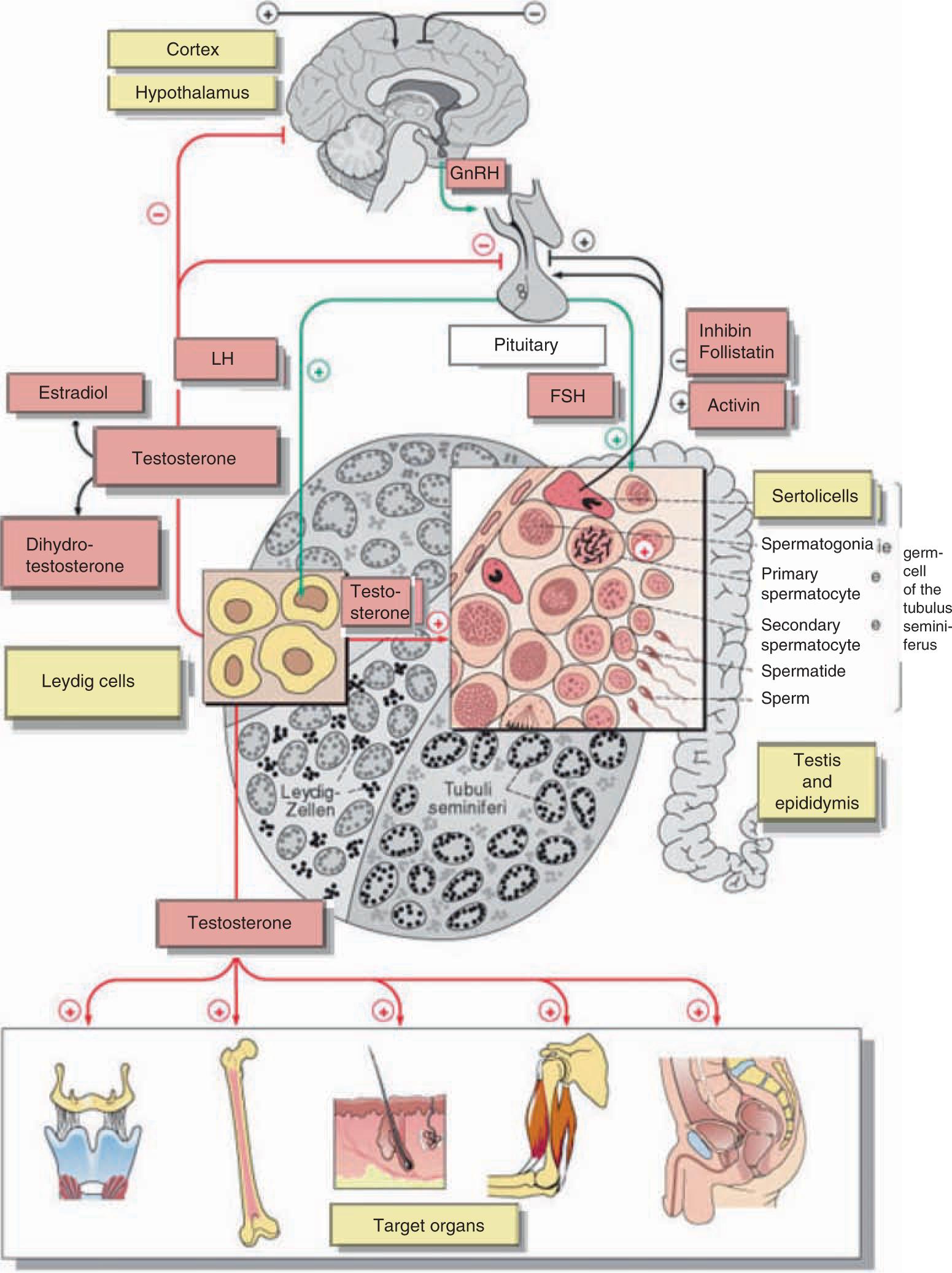 Physiology Of Testicular Function Springerlink