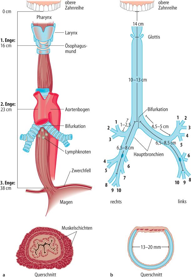 Nett Anatomie Und Physiologie Zusammenfassung Fotos - Menschliche ...