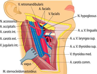 Anatomie | SpringerLink