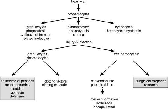 The Immune System of Spiders | SpringerLink