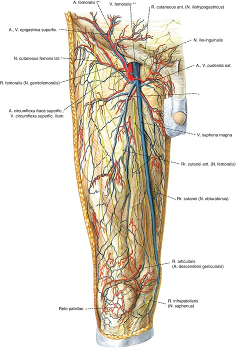 Anatomy of the Superficial Veins | SpringerLink