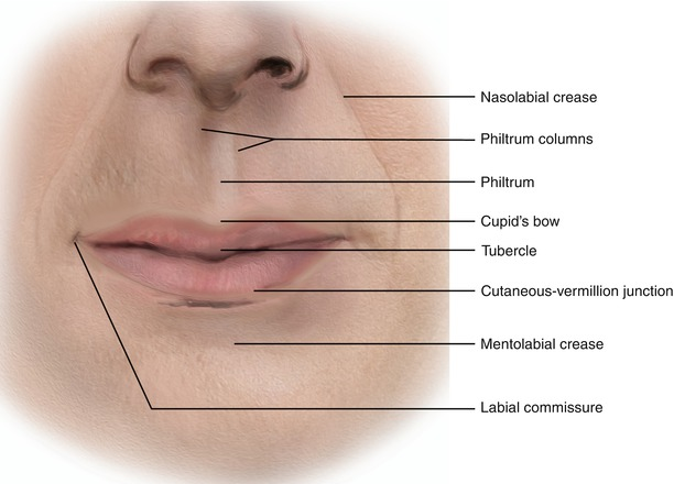 Lip Anatomy Diagram Tuberle Trusted Wiring Diagram