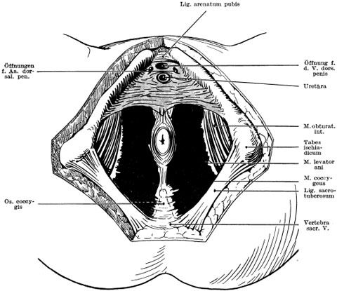 Chirurgische Anatomie und allgemeine Operationslehre des Penis und ...