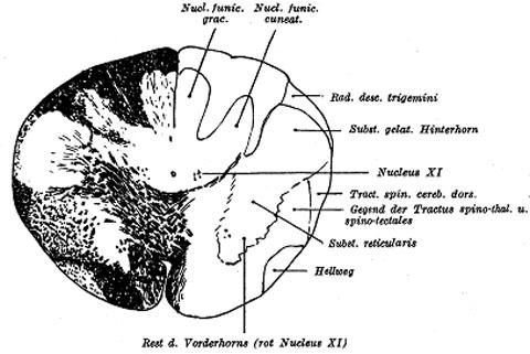 Feinere Anatomie der Medulla oblongata, des Kleinhirns, der Brücke ...