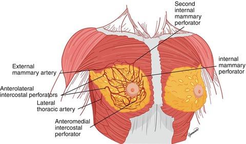 Arterial Blood Supply of the Breast | SpringerLink
