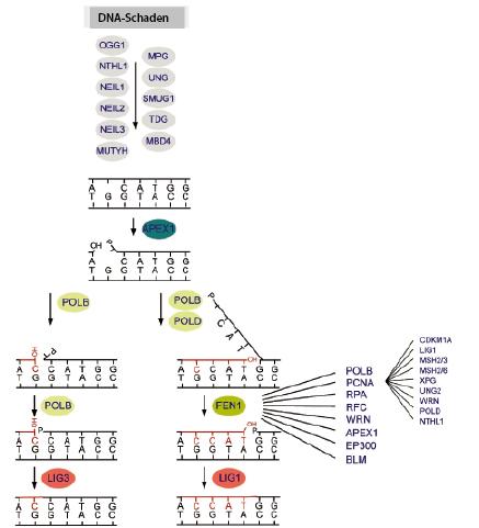 Veränderungen im Genom: Mutationen | SpringerLink
