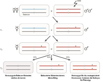 Die eukaryotische Zelle und Modellorganismen | SpringerLink