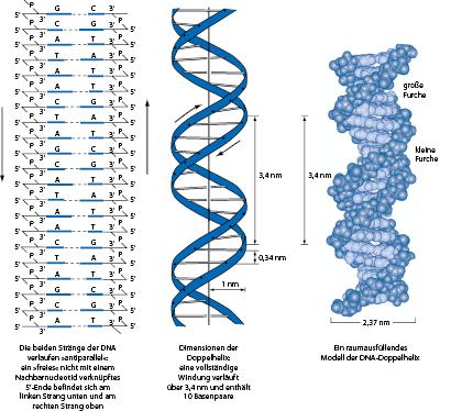 Organisation und Funktion eukaryotischer Gene | SpringerLink