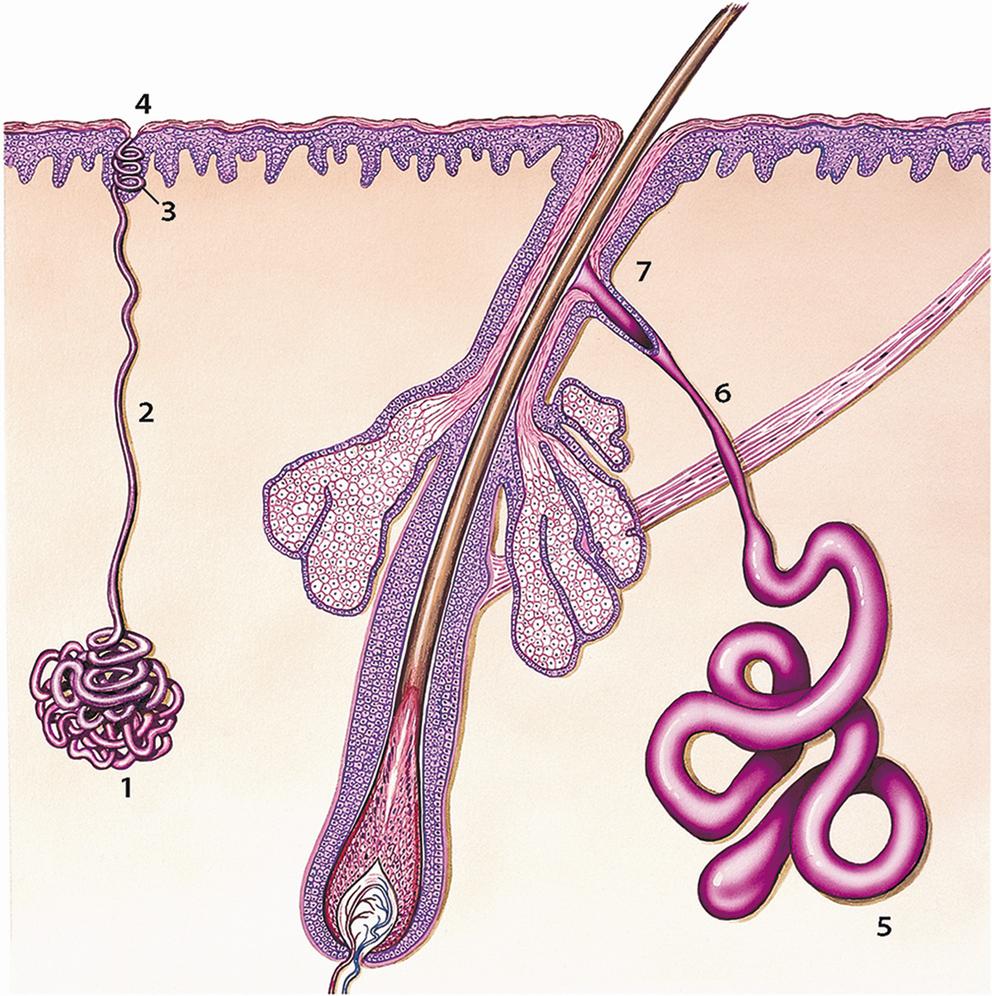 Erkrankungen der Schweißdrüsen | SpringerLink