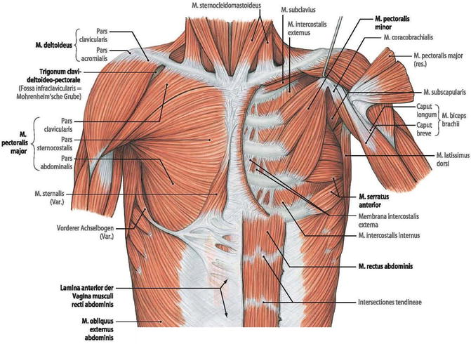 fig  3 6  muscles of the thoracic wall