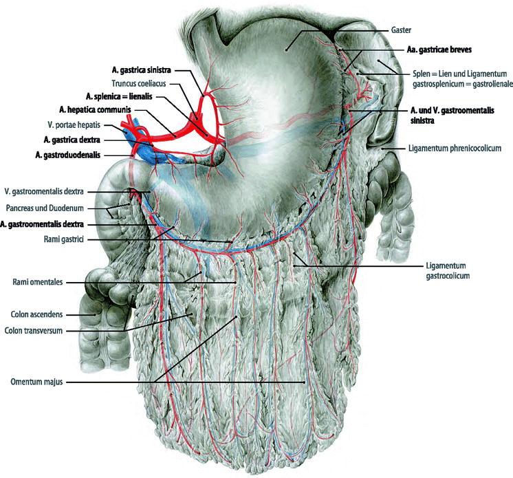 Gemütlich ösophagus Anatomie Und Physiologie Galerie - Menschliche ...