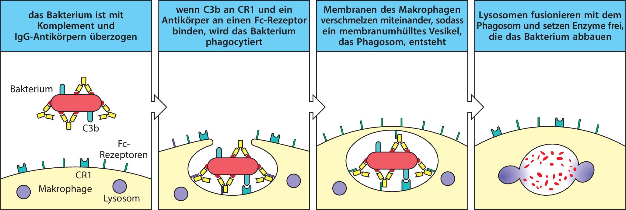 humorale immunreaktion