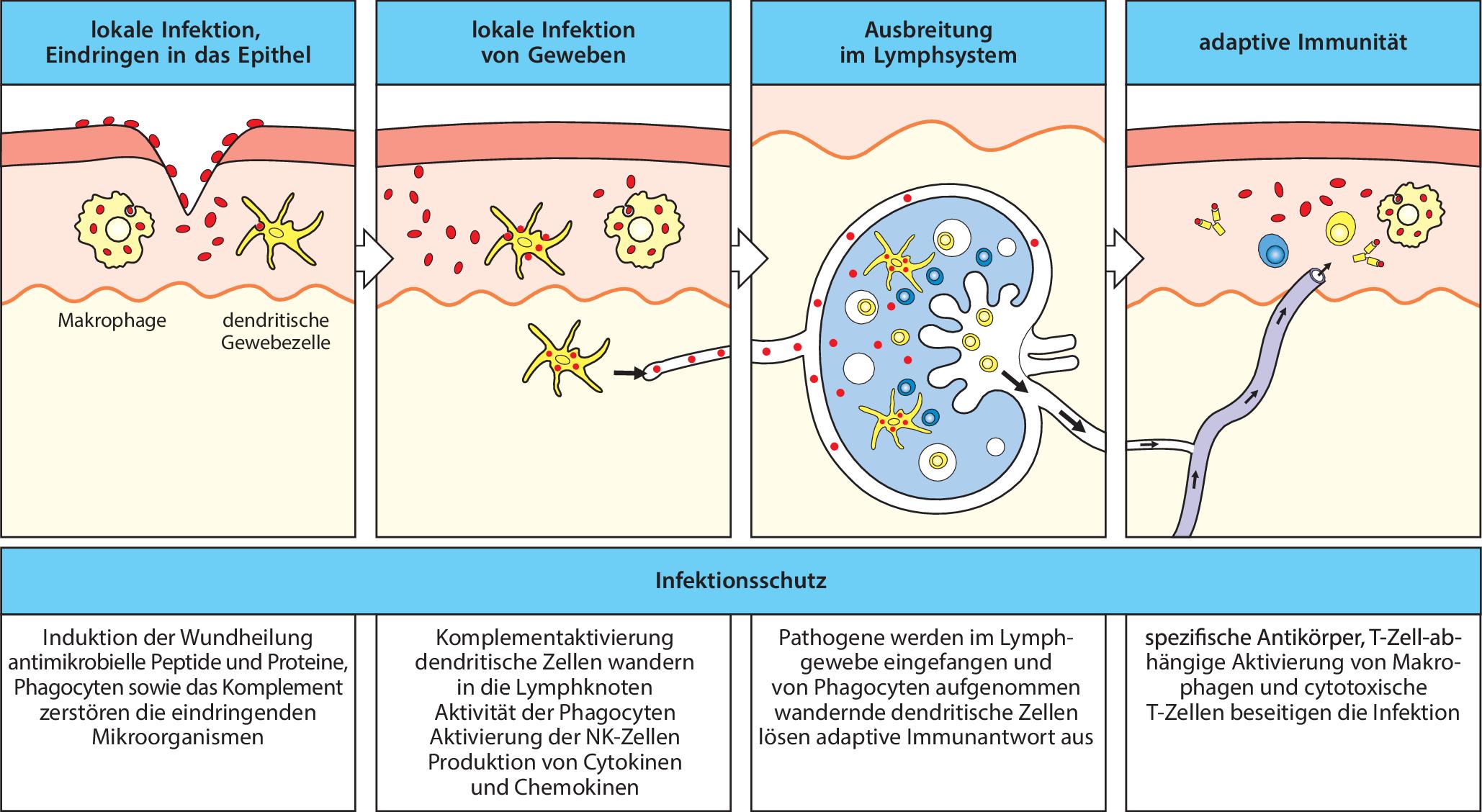 Charmant Lymphsystem Und Immunität Fotos - Physiologie Von ...