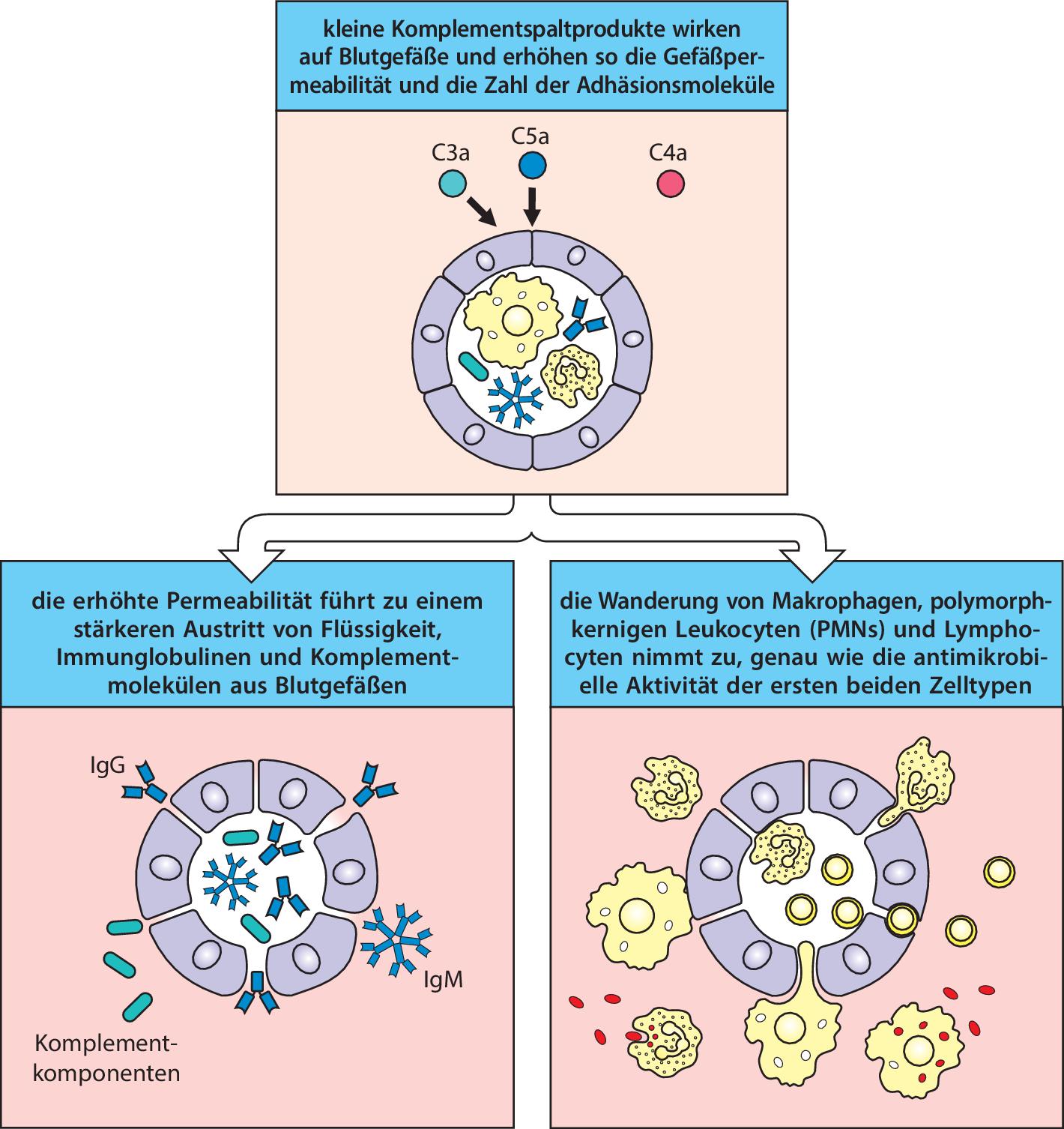 Die Angeborene Immunität Springerlink
