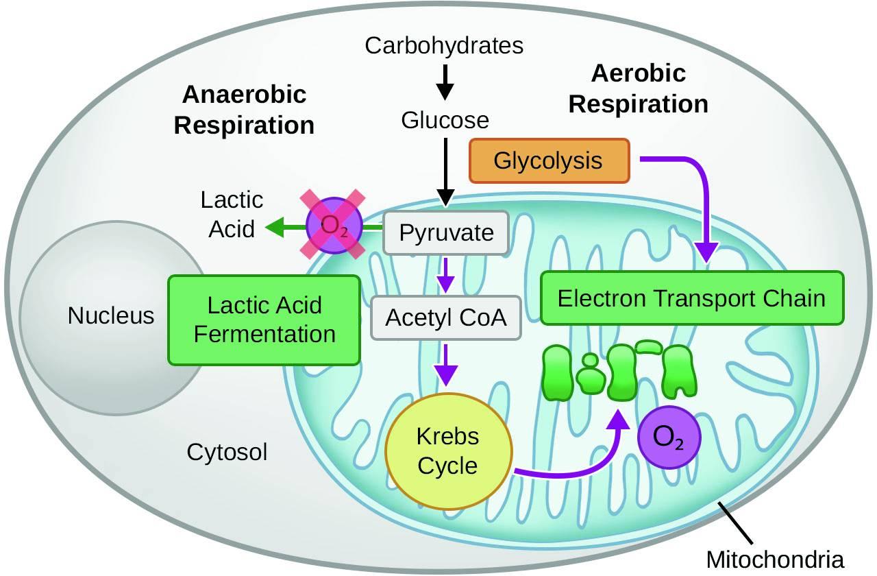 Cellular Respiration Springerlink
