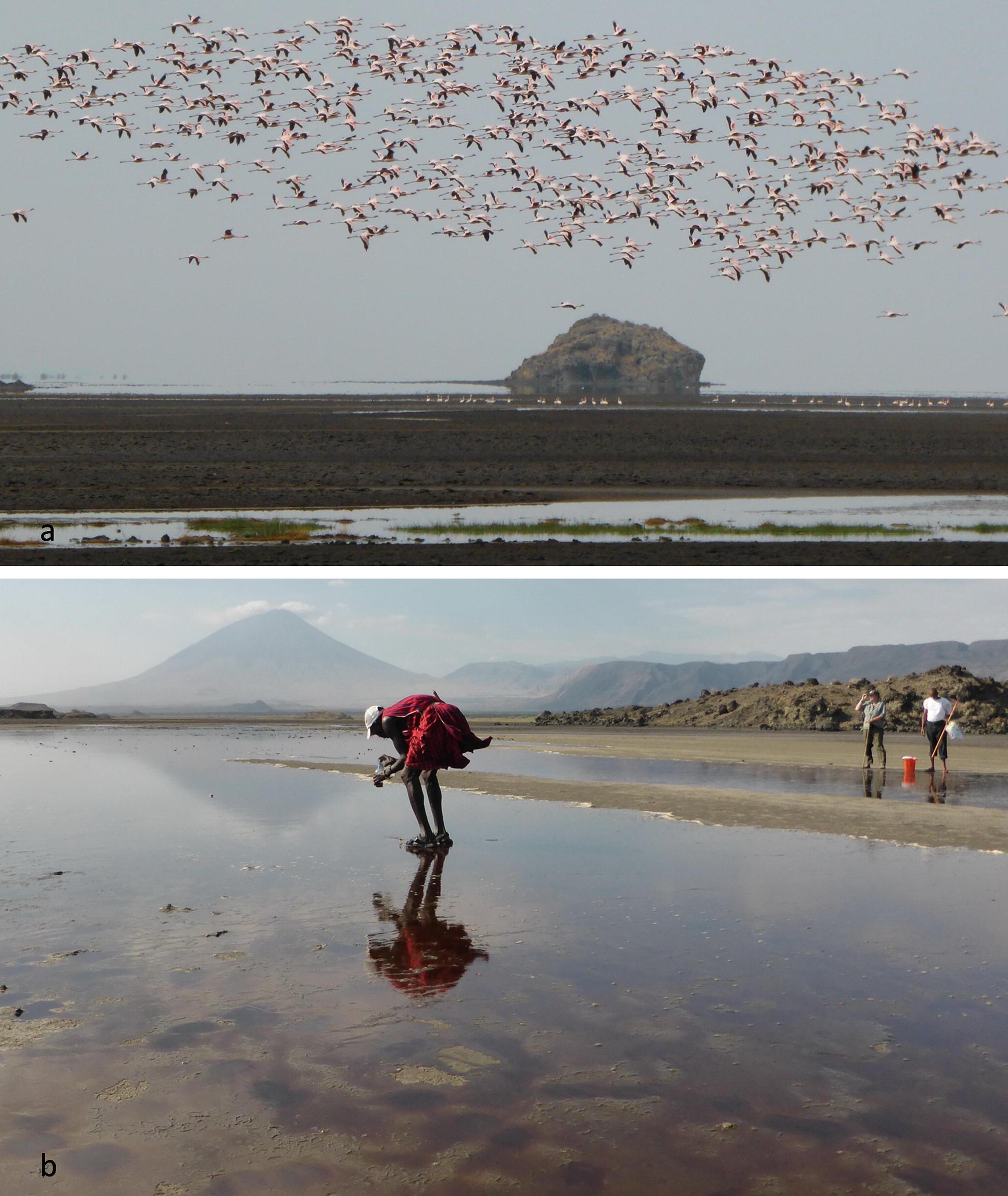 East Africa: Hub of the Unresting Lesser Flamingo | SpringerLink