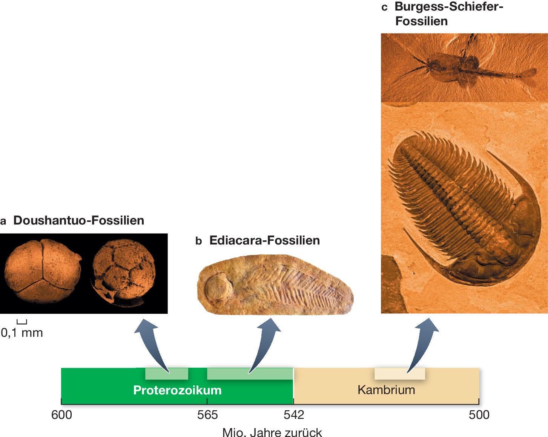 Wie wird radioaktive Datierung verwendet, um das Alter eines Fossils zu bestimmen Datieren bedeutet, auszugehen