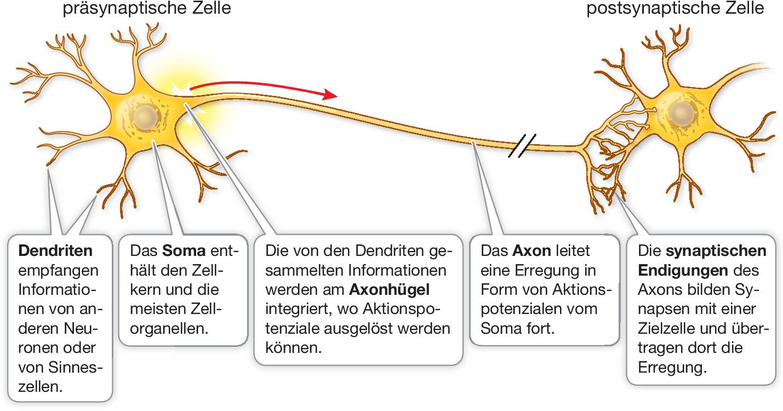 Nervenzellen Gliazellen Und Nervensysteme Springerlink