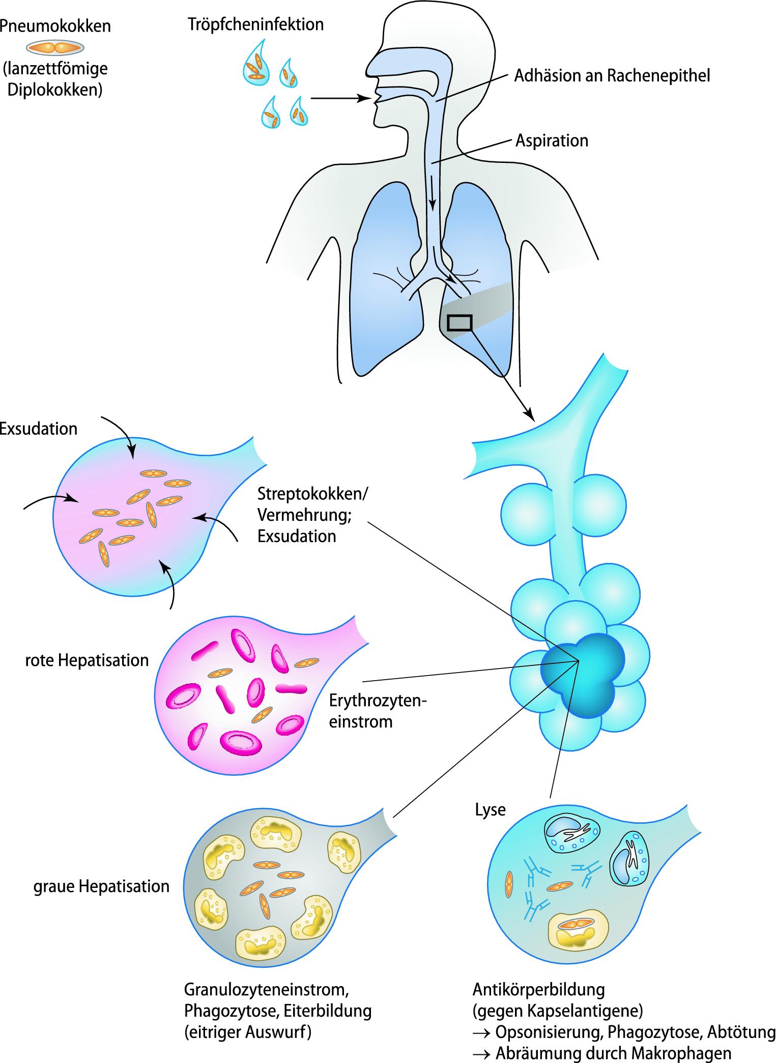 toxine erythrogene