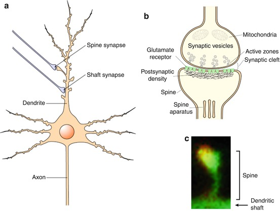 Heparan sulfate proteoglycans in central synapses springerlink open image in new window fandeluxe Choice Image