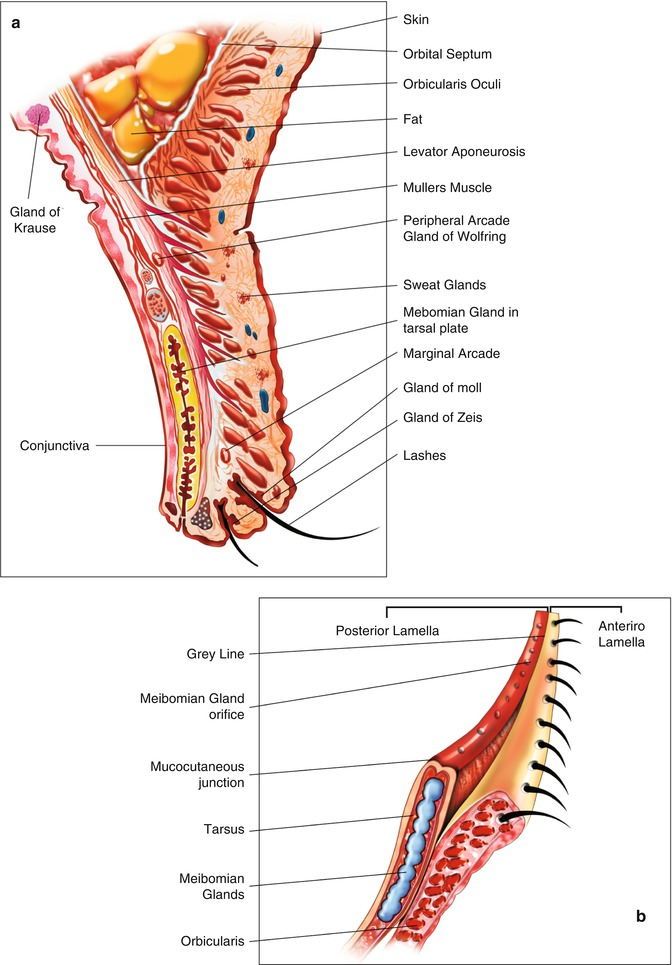 Eyelid Anatomy Springerlink