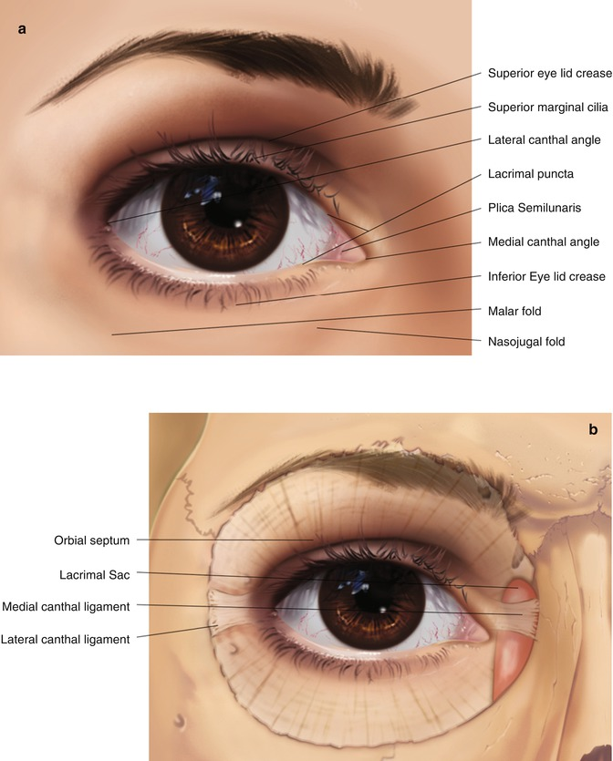 Eyelid Anatomy | SpringerLink