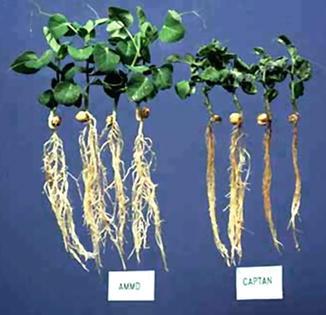 Leguminous Vegetable Crops | SpringerLink