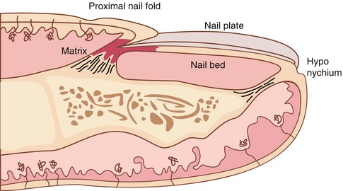 Nail Anatomy And Physiology For The Clinician Springerlink